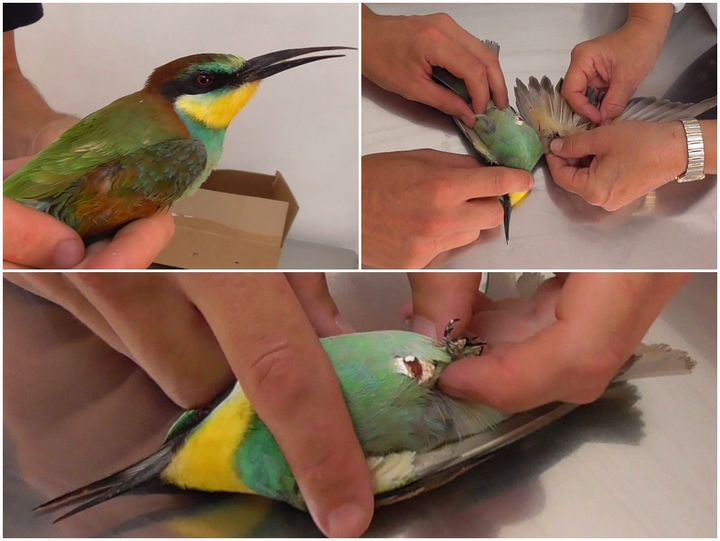 Protected Bee-eater shot, just three days into autumn hunting season