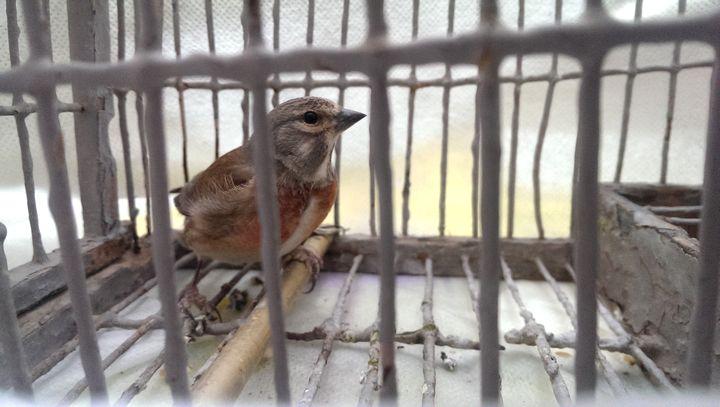 BirdLife Malta criticises decision to open trapping season