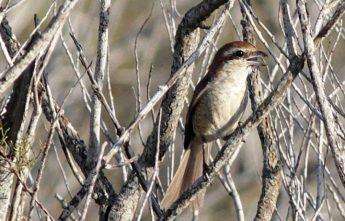 BirdLife confirms first record of a rare Brown Strike in Malta