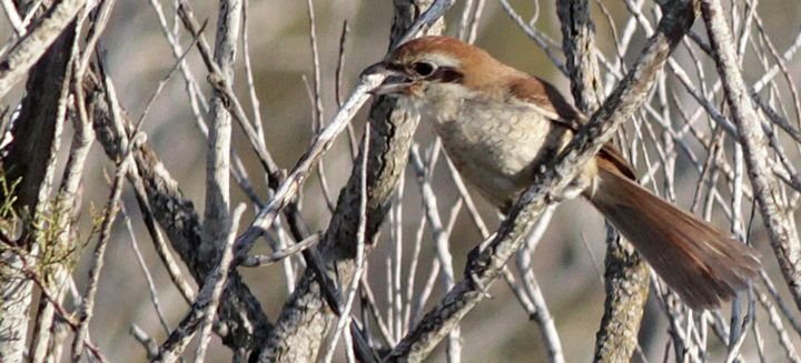 BirdLife confirms first record of a rare Brown Shrike in Malta