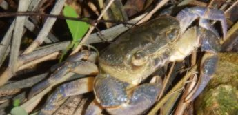 Freshwater Crab - the story of its arrival on the Maltese islands