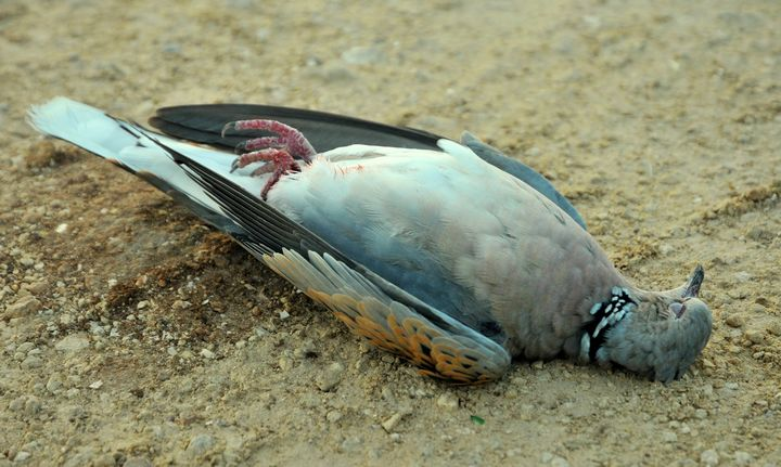 """Turtle dove """"at risk"""" with spring hunting season opening tomorrow - BLM"""
