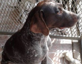 Toby the loving pointer is in need of his own forever home
