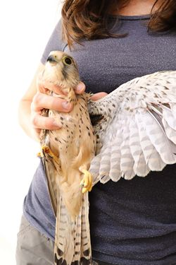 Common Kestrel shot in Siggiewi and recovered today - BirdLife Malta