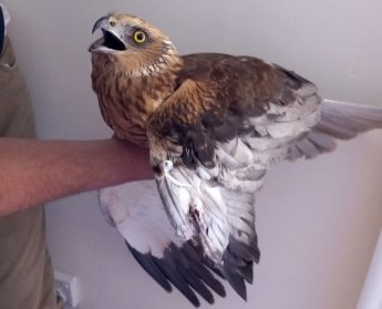 Marsh Harrier with shotgun injury found by the public in Gozo