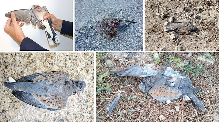 "Spring hunting season ""one of the worst in past years"" - BirdLife"