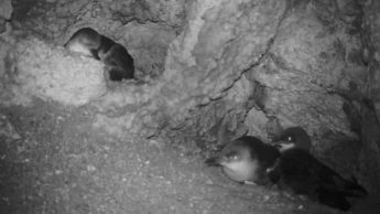 Video of BirdLife Malta's seabird project gives new insight to breeding birds