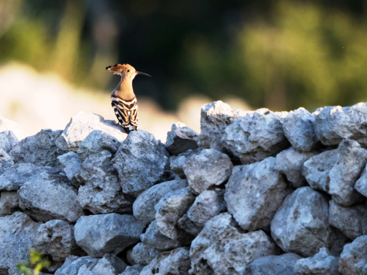 Hoopoes breed in Gozo and in the South of Malta - KSU