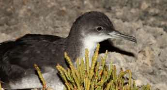 Be on the look out for stranded Yelkouan Shearwater fledglings