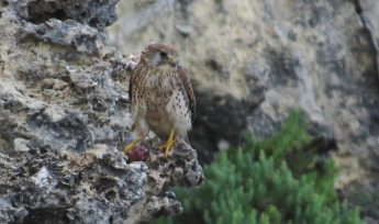 Common Kestrels successfully breed in Gozo and Malta this year
