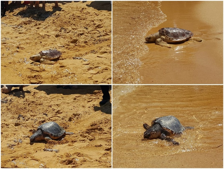 Turtles, Popeye and Catherine released today from Gnejna Bay