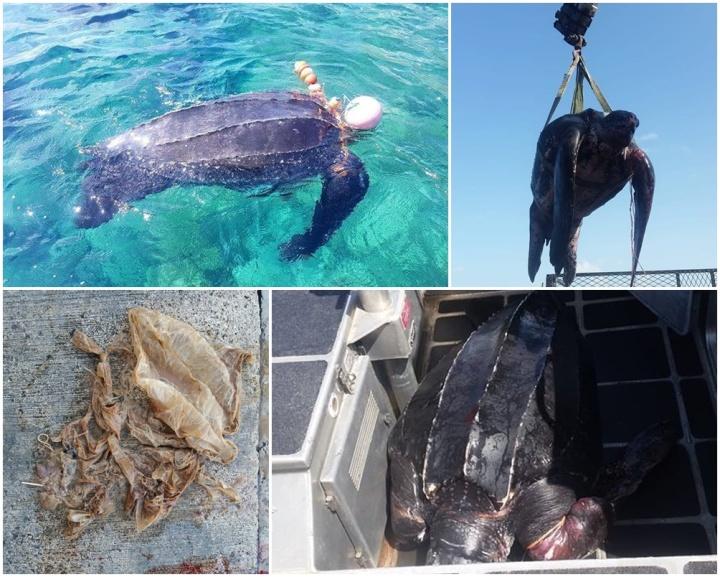 Rare juvenile leatherback turtle found dead off Gozo coast