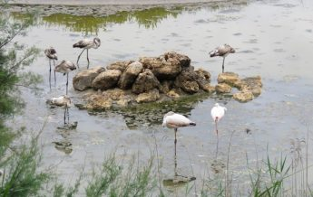 Flamingos attract hundreds of visitors, Ghadira opening on Saturday