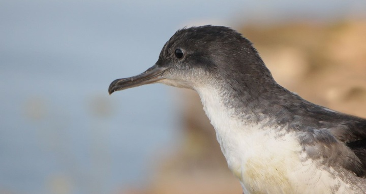 Record year for stranded Yelkouan Shearwater fledglings - BLM