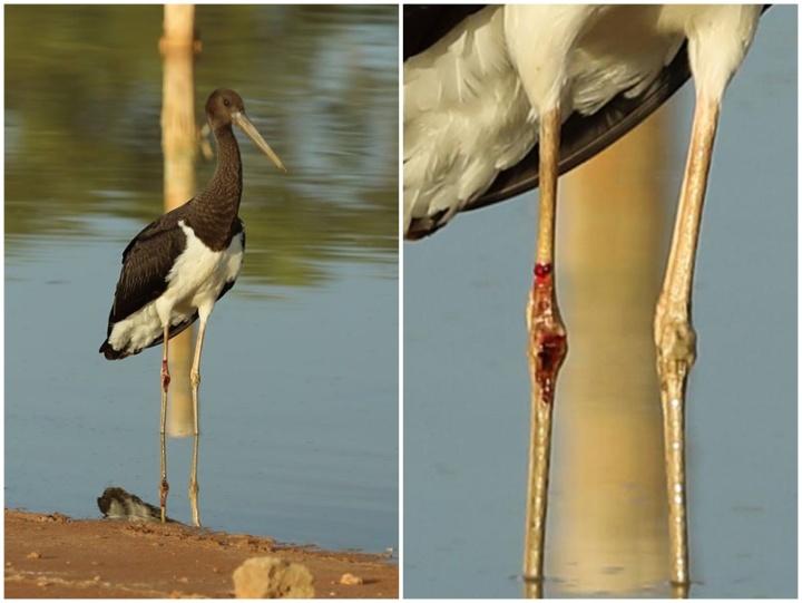 """Black Storks visit Maltese Islands on Friday, """"large bird"""" shot in Xlendi"""