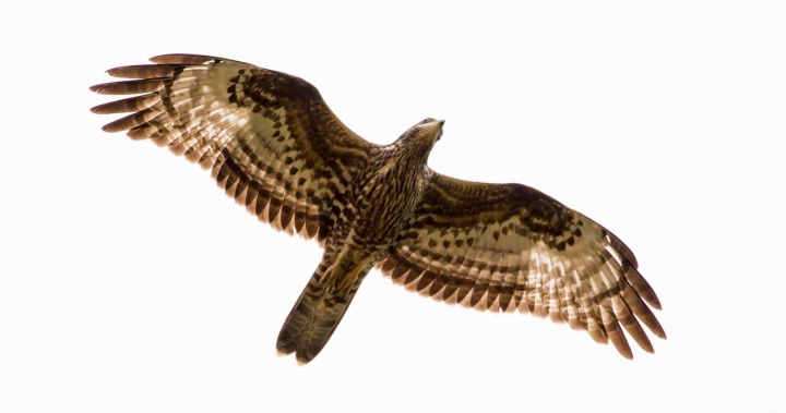 Hundreds of raptors seen migrating over the Maltese Islands on Thursday