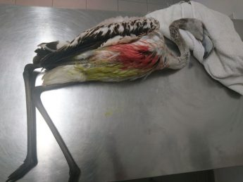 Young flamingo found shot in Gozo and a heron found shot in Malta