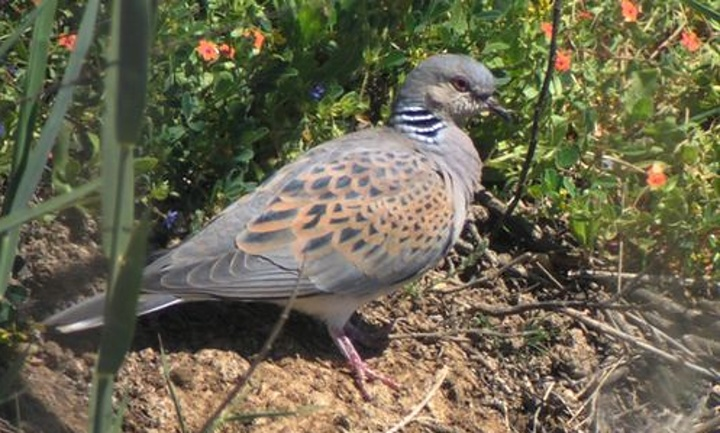 Autumn hunting for Turtle Dove is an unsatisfactory solution - KSU