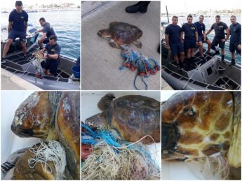 Steph the Loggerhead Turtle rescued from Xghajra today - NTM