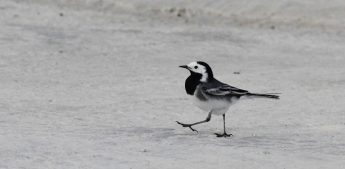 BirdLife Malta's Wings Over Valletta - A White Wagtail celebration