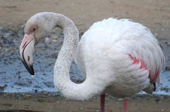 """Resident"" Greater Flamingo ""shot and stolen"" from Ghadira - BirdLife"