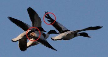 "BirdLife demands closure of hunting at sea after ""massacre"" of Shelducks"