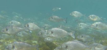 Large shoals of sea bream delight divers around coast of Gozo