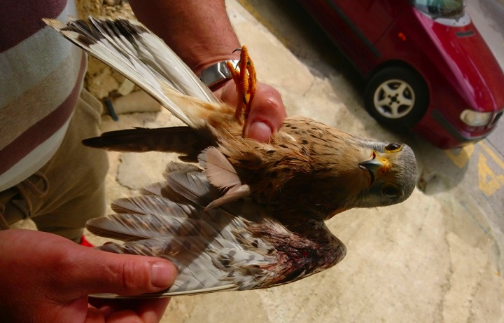 Three shot protected birds recovered, including one in Gozo - BirdLife