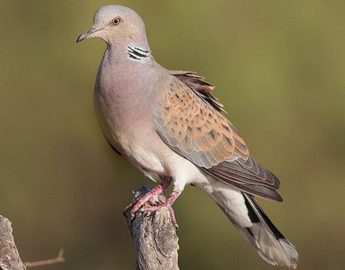 BirdLife Malta welcomes Ornis decision on protecting the Turtle Dove