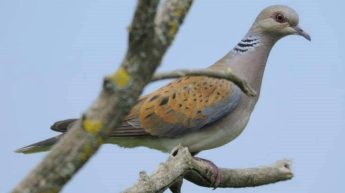 FKNK proposes return of turtle dove spring hunting in new report