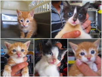 Beautiful playful kittens waiting at Gozo SPCA for loving homes