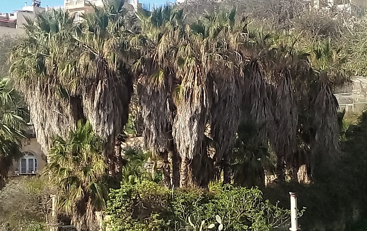 Lunzjata Valley palm trees in need of a trim - Anthony Zammit