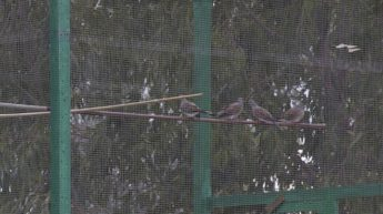 Turtle doves bred in captivity should have a closed ring - BirdLife Malta