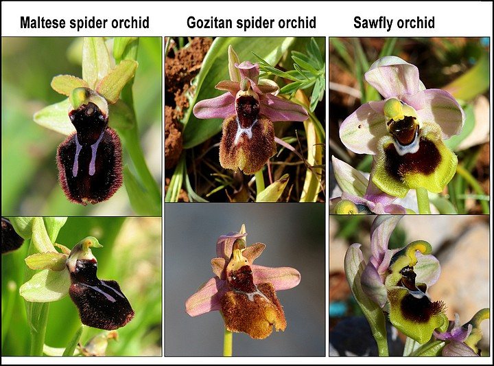 New Orchid to science named after Gozo
