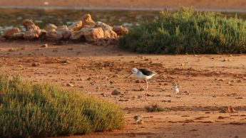 Meet the four new families of breeding birds at Ghadira