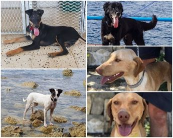 Five lovely dogs, all waiting for forever homes at Gozo SPCA