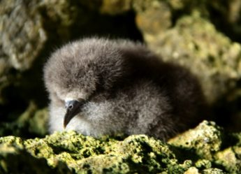 Keep a look look out for stranded Shearwater chicks around the coast