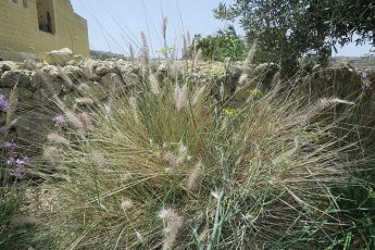 Eradication from Gozo of African Fountain Grass alien plant species